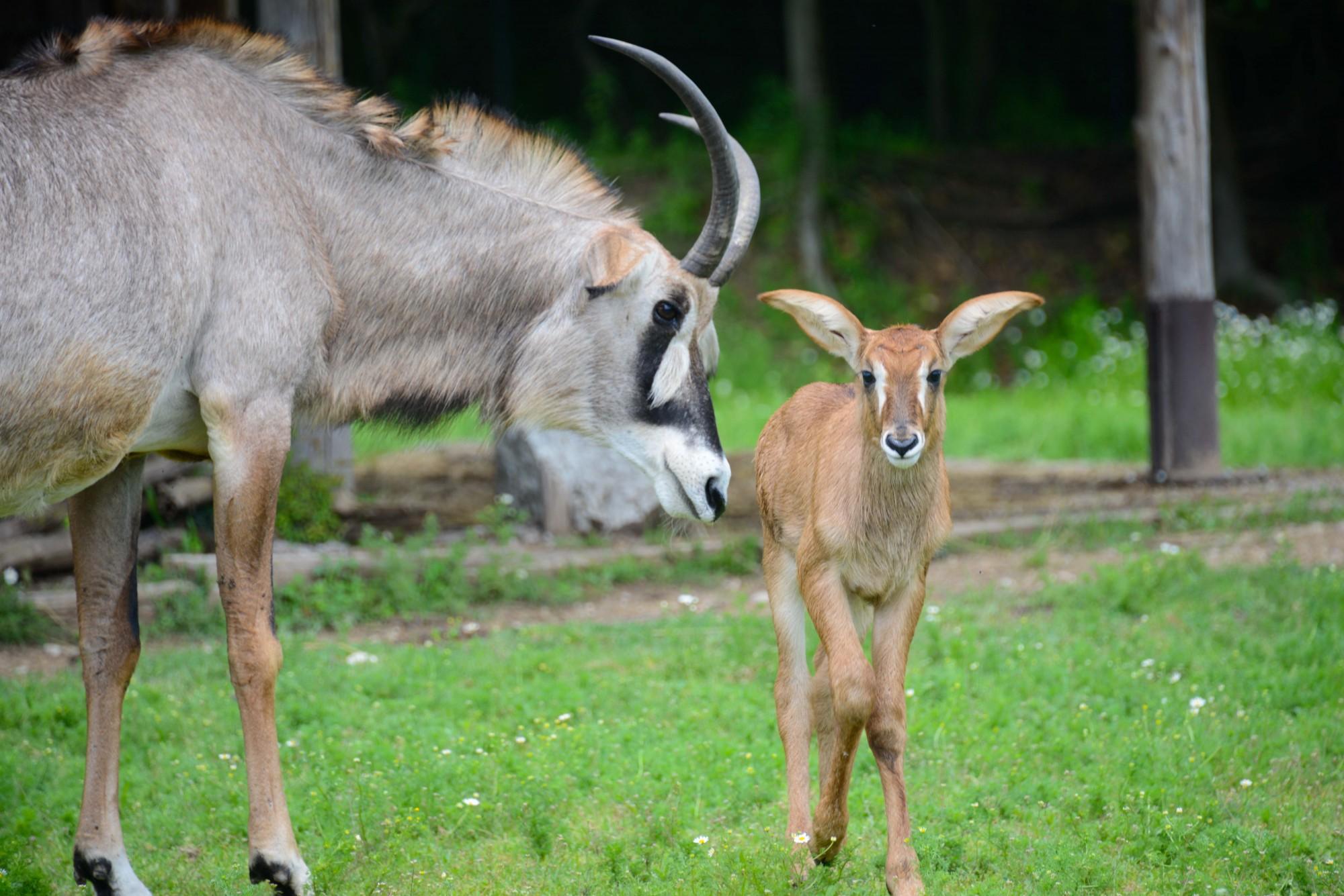 2016-otto-mag31-antilope-roana-15-cucciolo-2.jpg