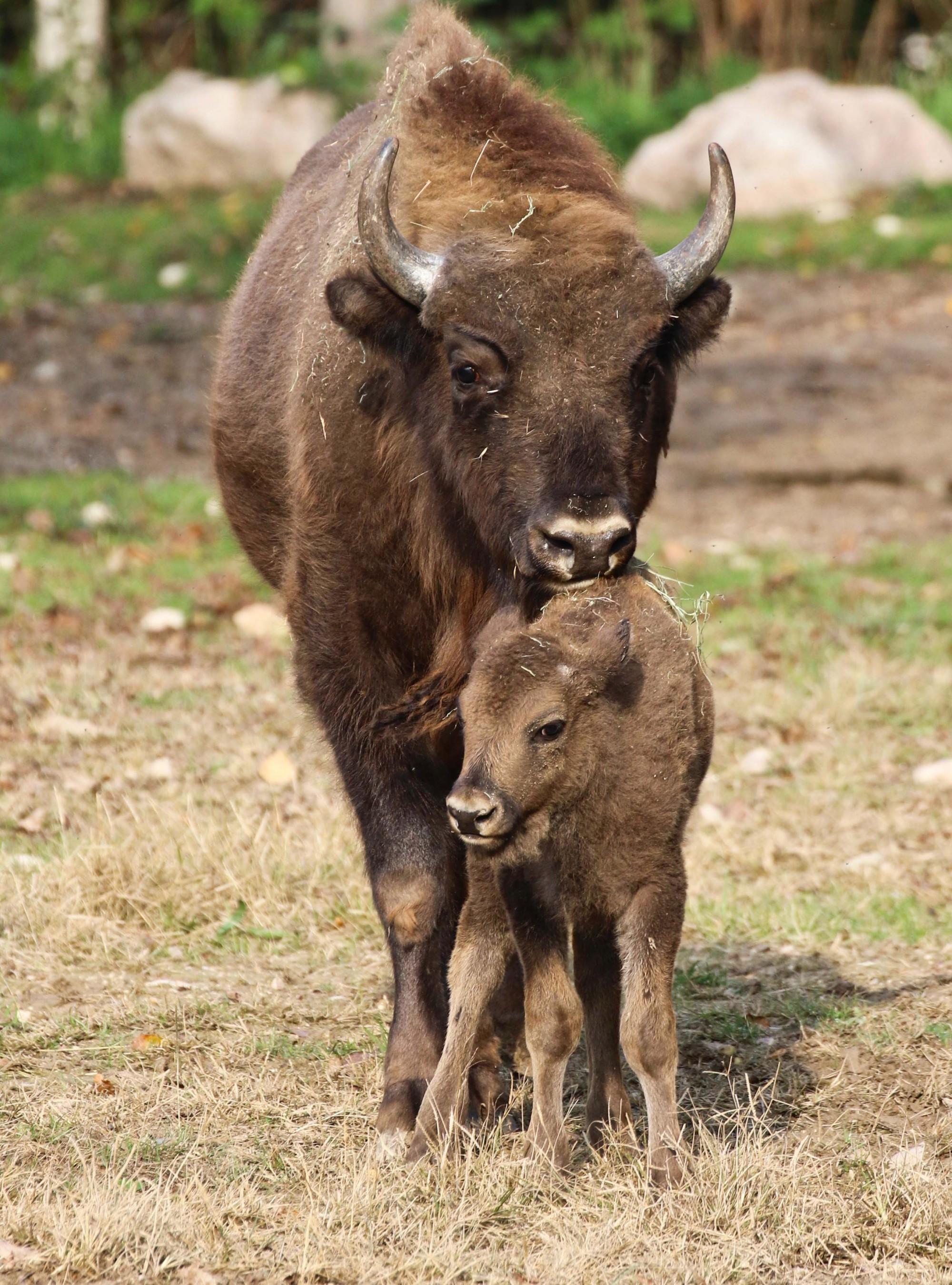 2017-giorgio-cortese-bisonte-europeo-cucciolo-40-zz-2.jpg