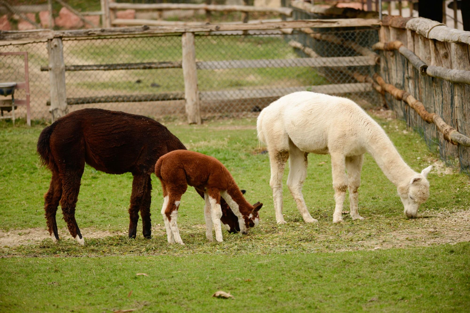 2017-otto-nov10-alpaca-2-cucciolo-toffee-1-2.jpg