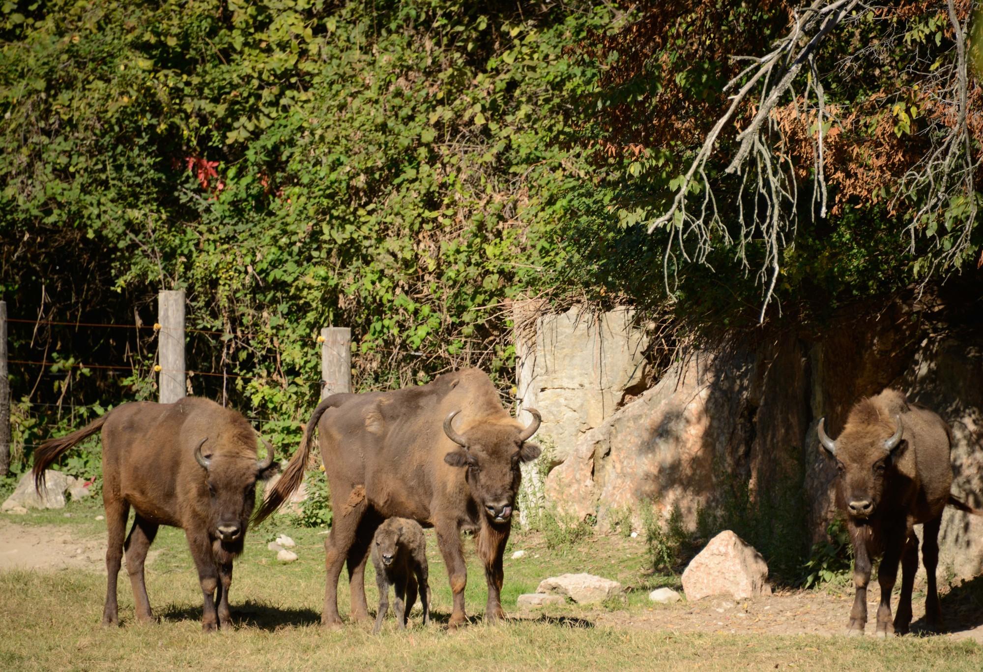 2017-otto-ott15-bisonte-europeo-24-cucciolo-nascita-famiglia-2.jpg