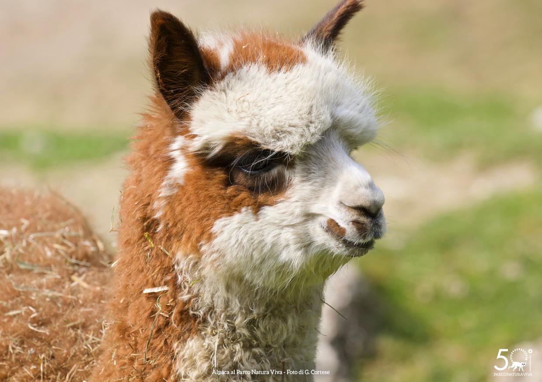 alpaca-femmina-festa-della-donna-2019.jpg