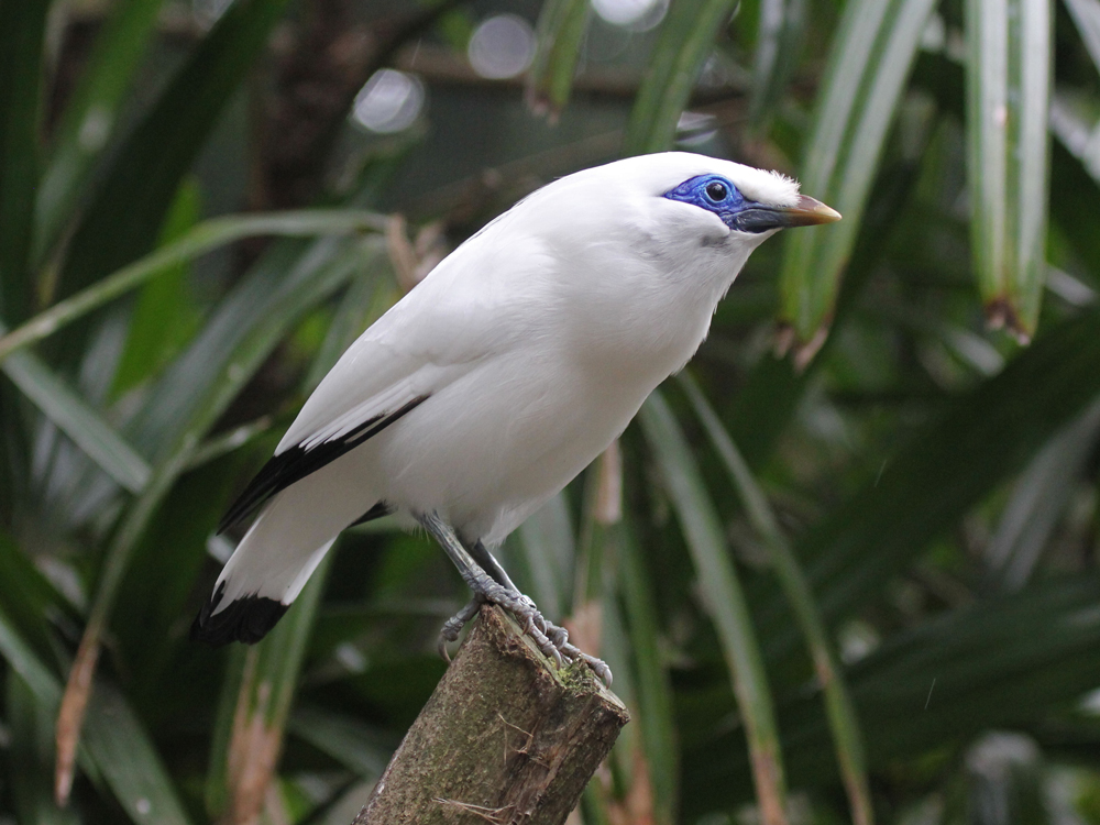 bali-starling-eaza-silent-forest-campaign-info-pack.jpg