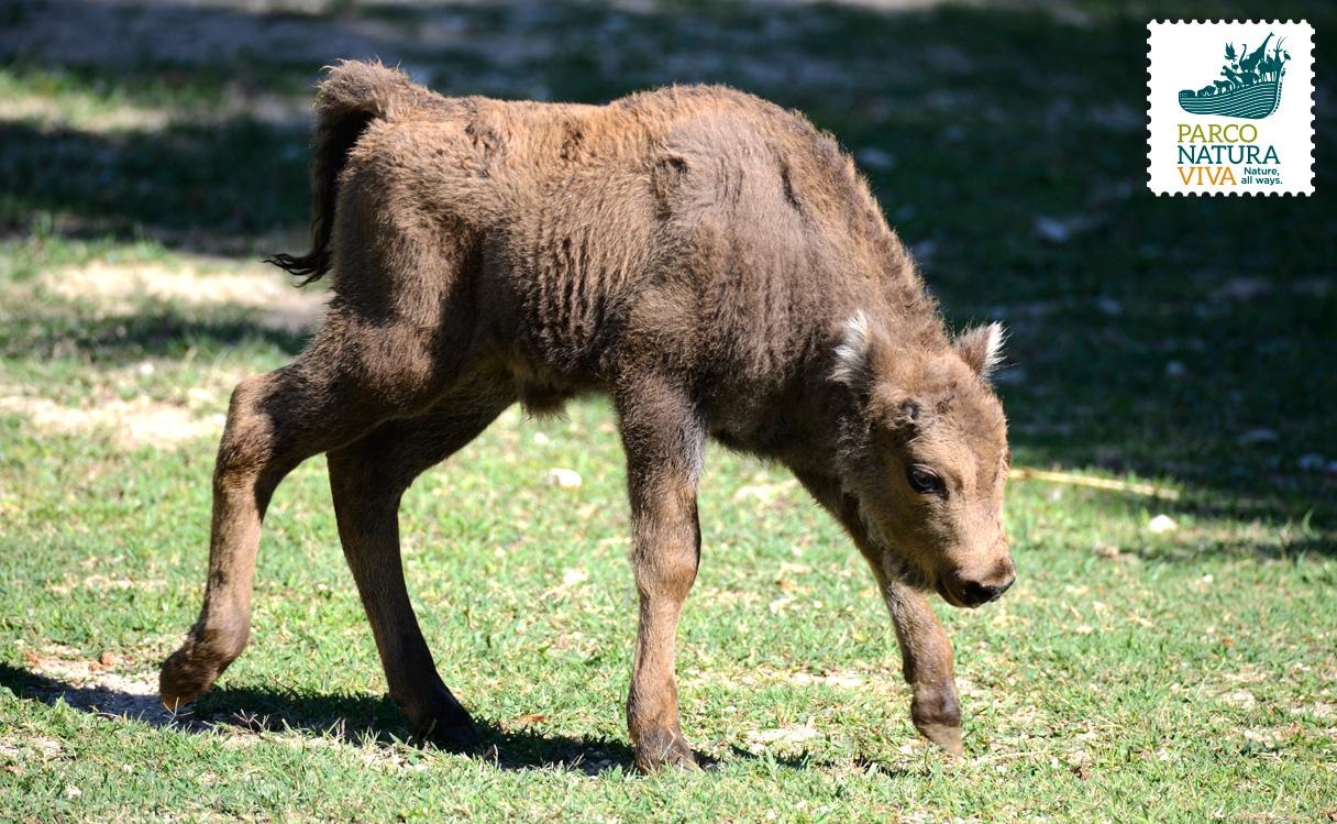 49+ Bisonte Europeo Background