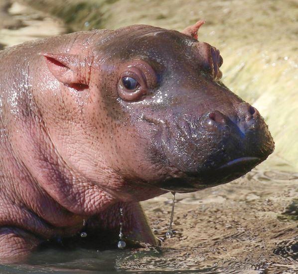 Baby Hippo Born Parco Natura Viva