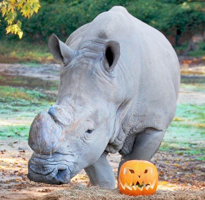 box_rinoceronte_halloween.jpg