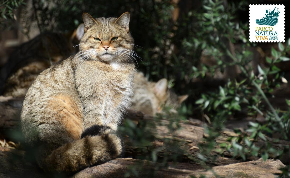 Gatto Selvatico Parco Natura Viva