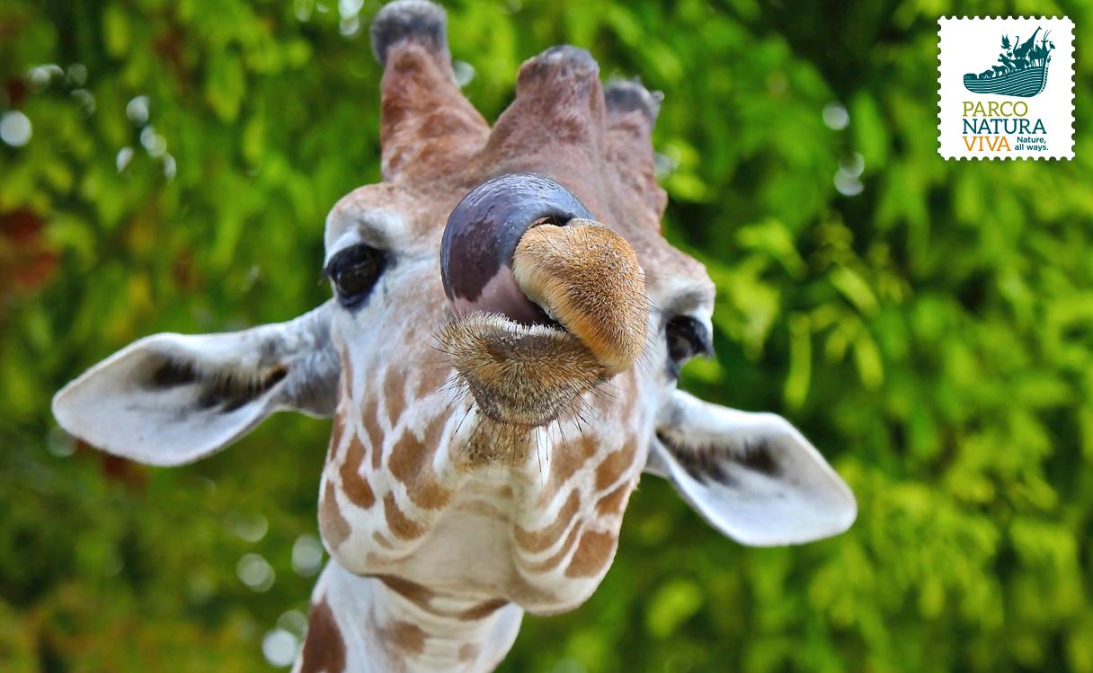 Giraffa parco natura viva for Immagini giraffa per bambini
