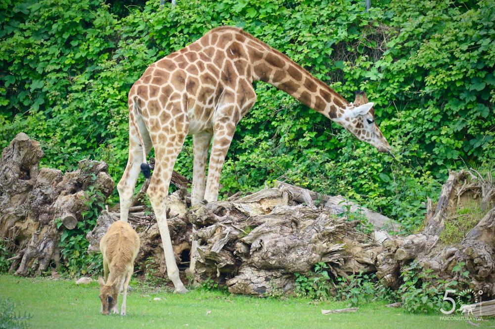 giraffa-24072019-4.jpg
