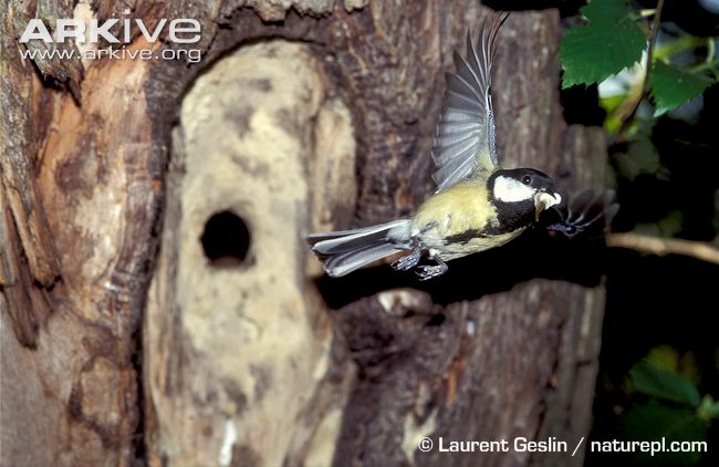 great-tit-carrying-faecal-sac-away-from-nest.jpg