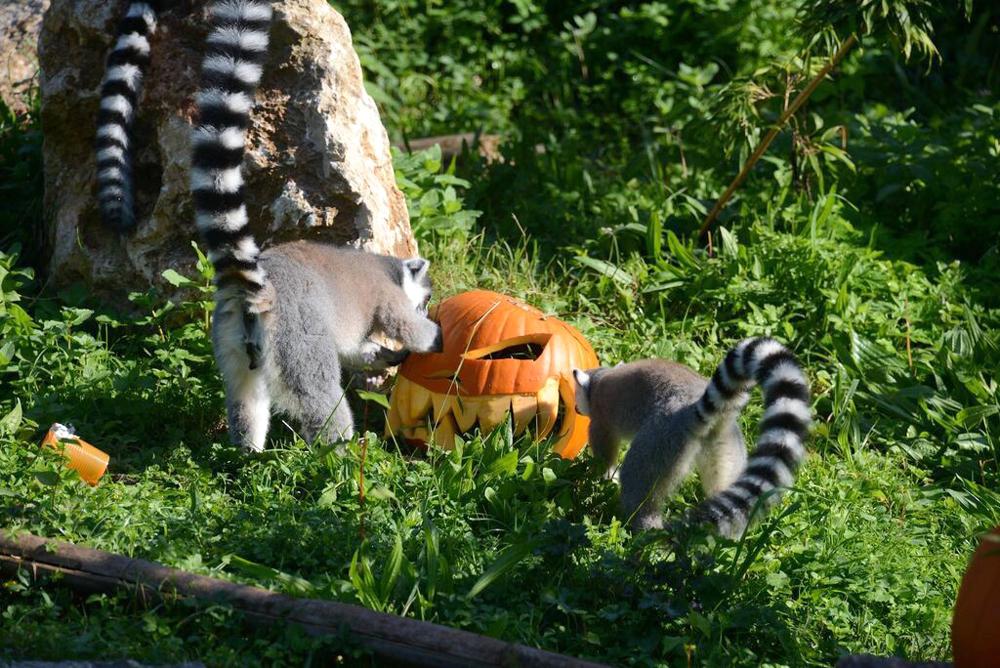 halloween-lemuri-catta.jpg