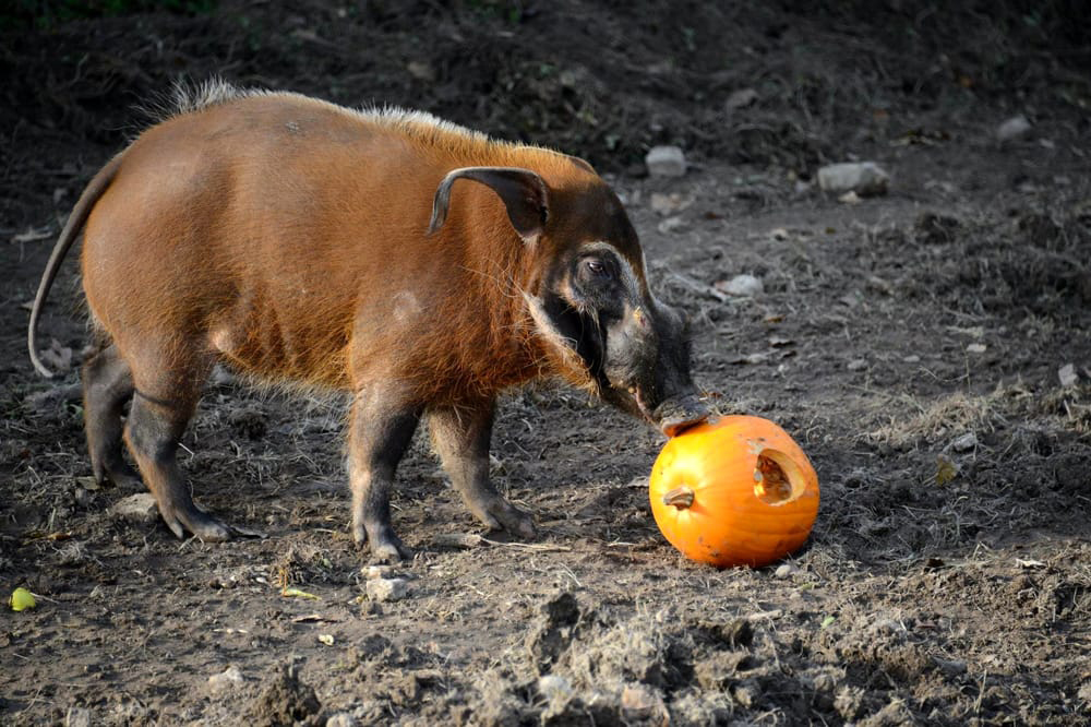 halloween-potamocero.jpg
