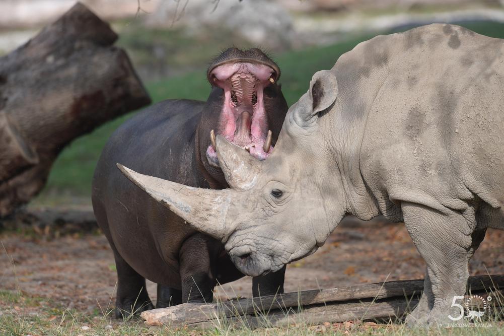 ippopotamo-e-rinoceronte-24072019.jpg