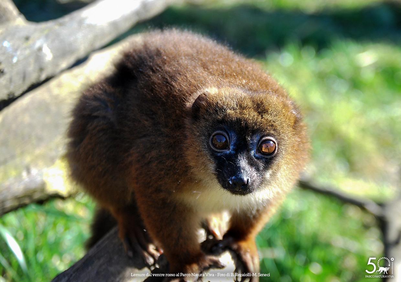 lemure-ventre-rosso-femmina-festa-della-donna-2019.jpg