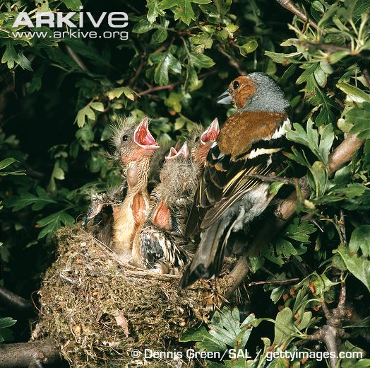 male-chaffinch-at-nest-with-chicks.jpg