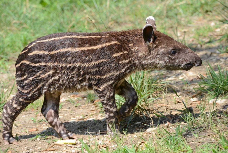 nuovinatitop5_tapiro.jpg