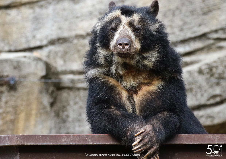 orso-andino-femmina-festa-della-donna-2019.jpg