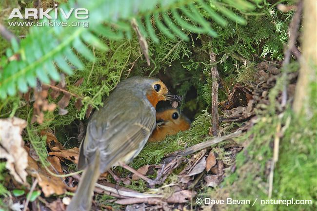 robin-feeding-insect-prey-to-female-in-nest.jpg