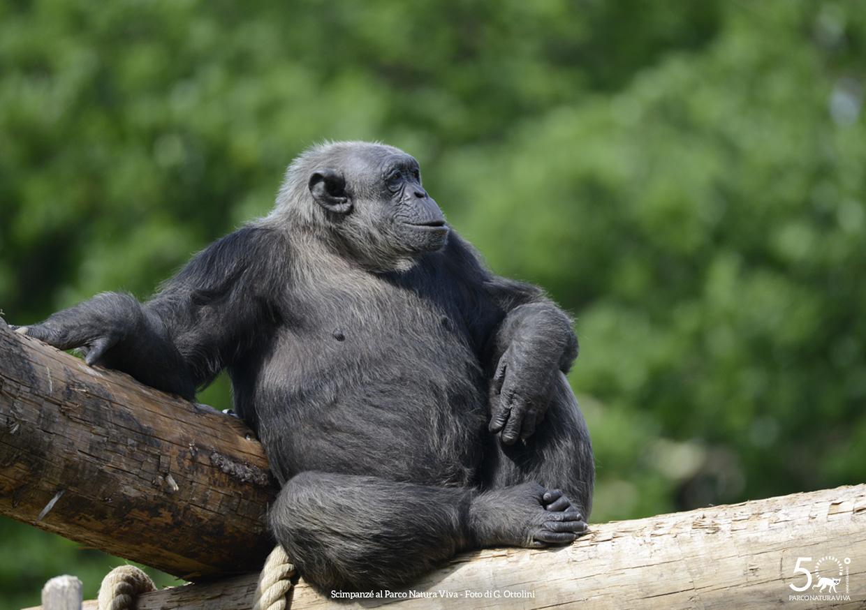 scimpanze-3-femmina-festa-della-donna-2019.jpg