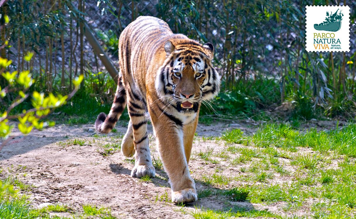 Tigre della siberia