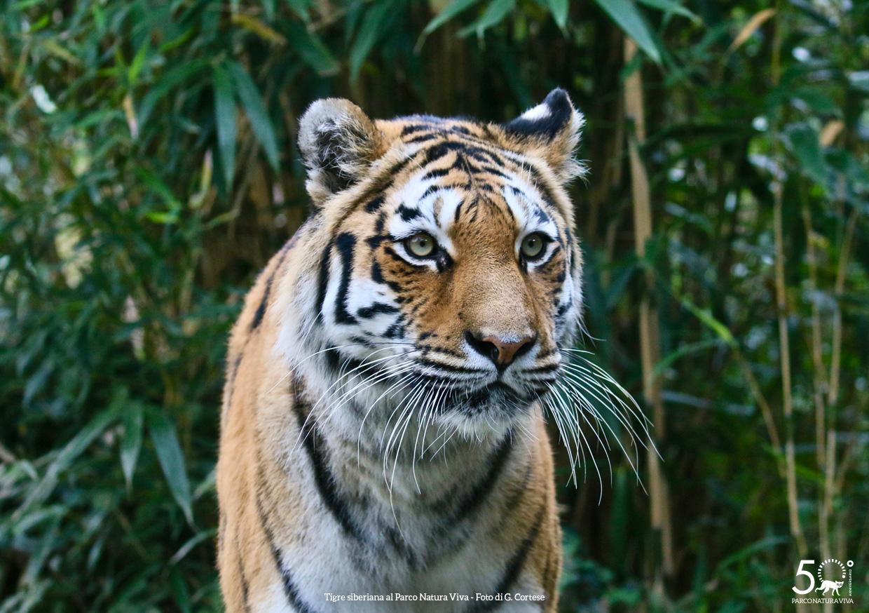 tigre-siberiana-2-femmina-festa-della-donna-2019.jpg