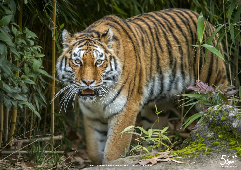 tigre-siberiana-femmina-festa-della-donna-2019.jpg