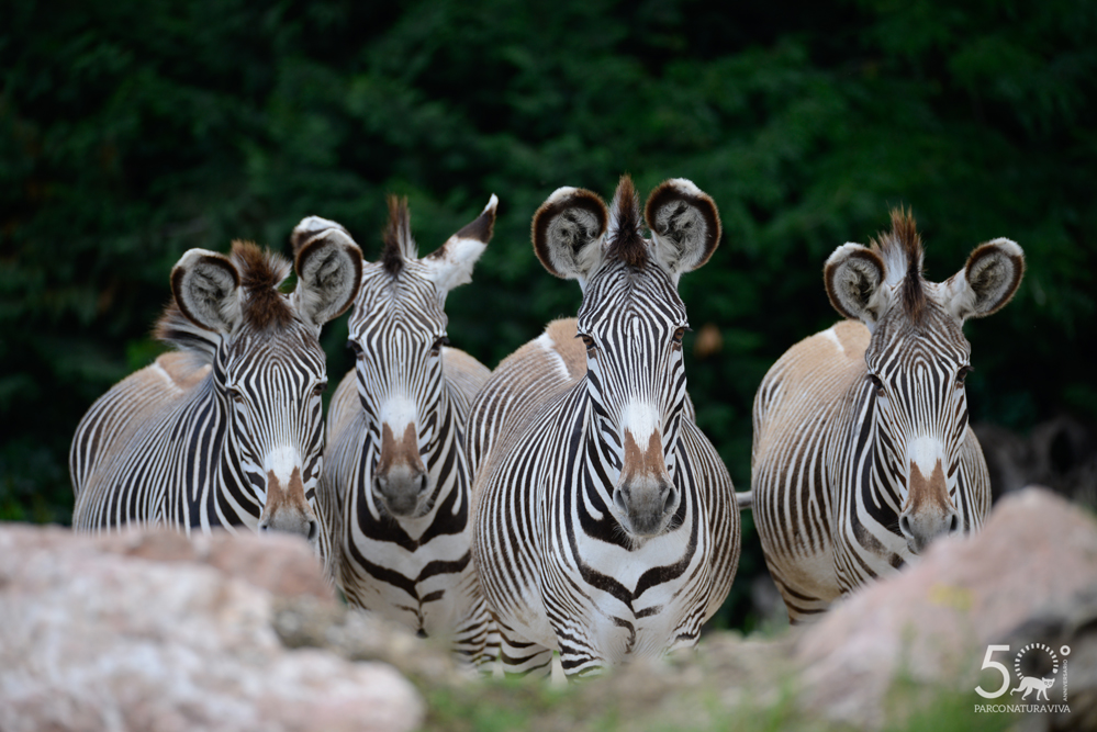 zebra-24072019-2.jpg