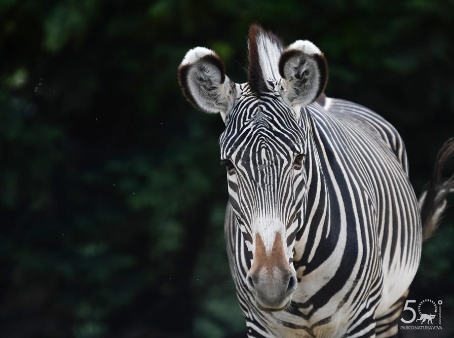 zebra-24072019-3.jpg