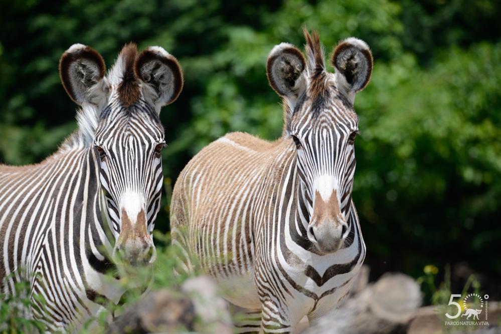 zebra-24072019.jpg