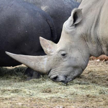 Keeper per un Giorno - rinoceronte bianco e ippopotami