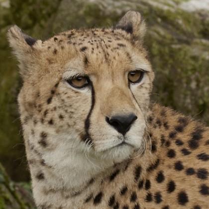 Giornata internazionale del ghepardo
