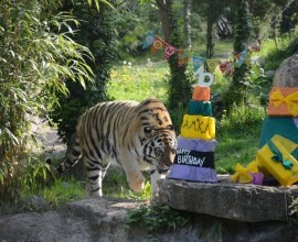 Il compleanno di Amka la tigre