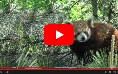 Nepal, gli sforzi di conservazione per il panda rosso