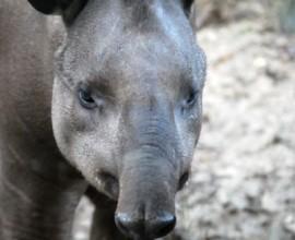 Festeggiamo i tapiri!