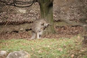 Canguro grigio orientale