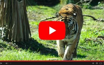 Virtual Talk | LA TIGRE SIBERIANA