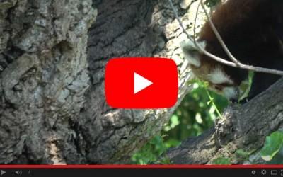 Di corsa per il panda rosso