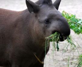 Keeper per un giorno - Tapiri