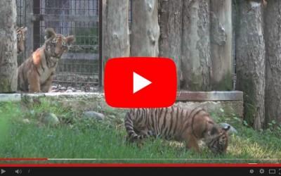 La prima volta dei tre tigrotti siberiani fuori dalla tana