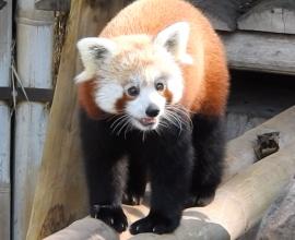 Tia e Tango, nuove arrivate tra i panda rossi