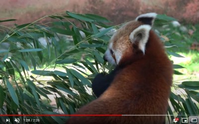 International RED PANDA Day 2020