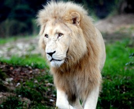 Ci ha lasciato Blanco, il leone candido più vecchio d'Europa