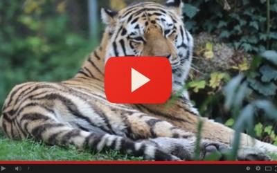 A 13 anni si è spento Amka, la tigre paziente del Parco Natura Viva