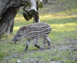 Alba, la tapirina d'autunno