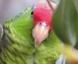Arrivate le Amazzoni Guance Verdi