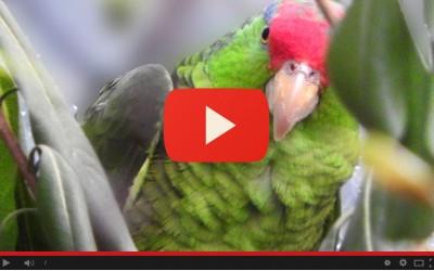 Nuovo arrivo: amazzoni guance verdi
