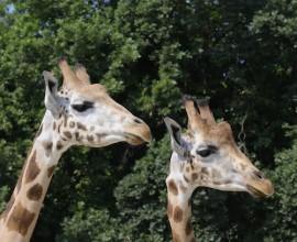 Amos e Themba, i due maschi di giraffa