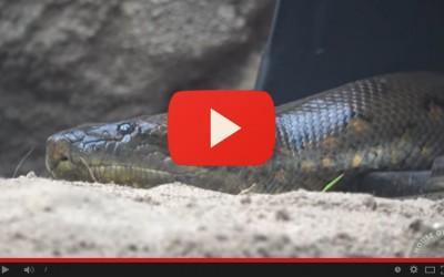 L'arrivo dell'anaconda gigante al Parco Natura Viva - House of Giants