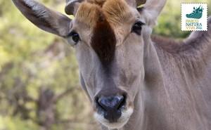 Antilope alcina