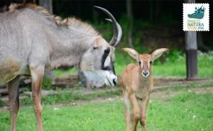 Antilope roana