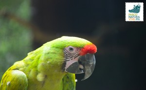 Ara verde